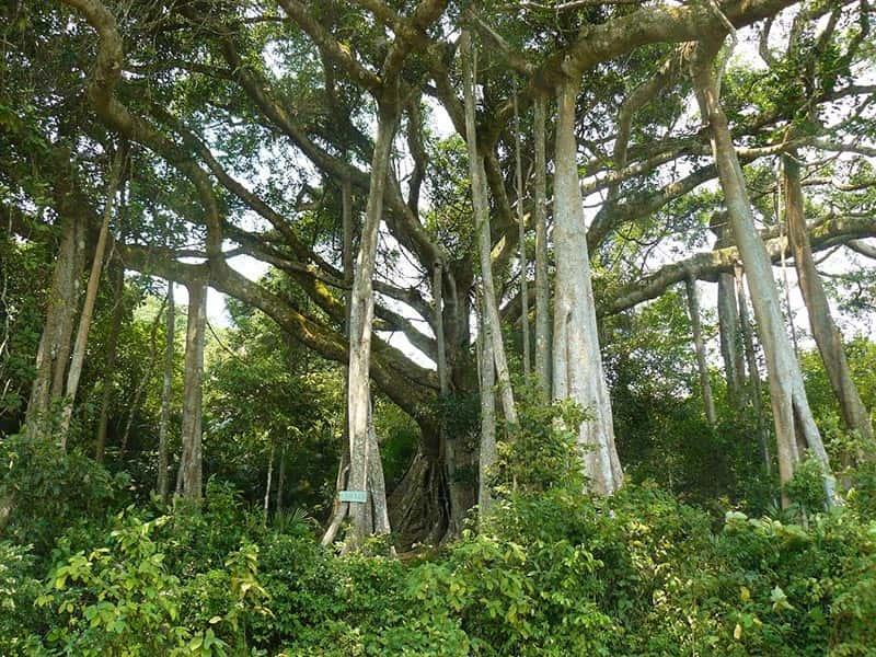 son tra peninsula banyan tree